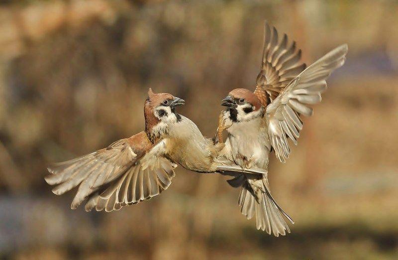 природа , птицы , полевые воробьи , весна поединокphoto preview