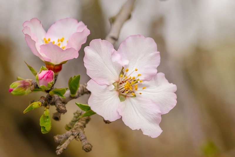 almond, tree, flower, nature, macro, spring, Israel flowers of almond treesphoto preview