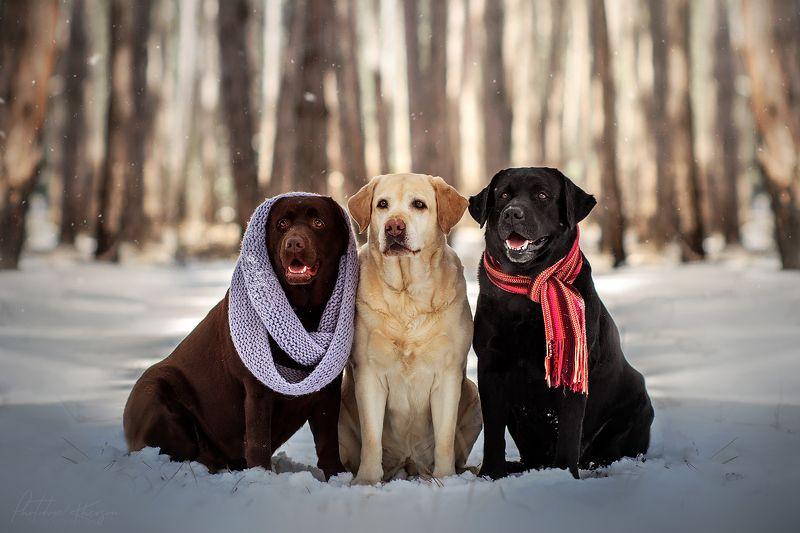 собака, анималистика, зима, лес, портрет, лабрадор Зимние лабрадорыphoto preview