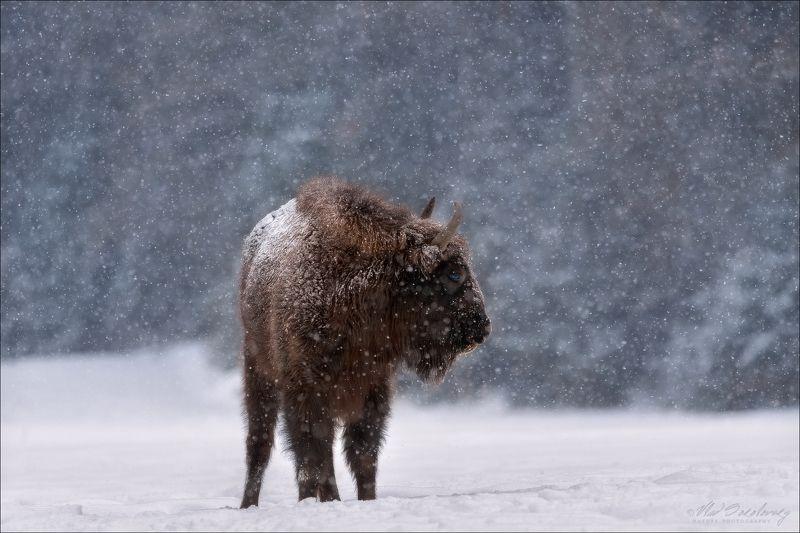 Беларусь, Красный Бор, зубр, зима Let It Snow ... фото превью