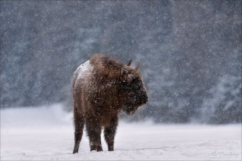 Беларусь, Красный Бор, зубр, зима Let It Snow ...photo preview