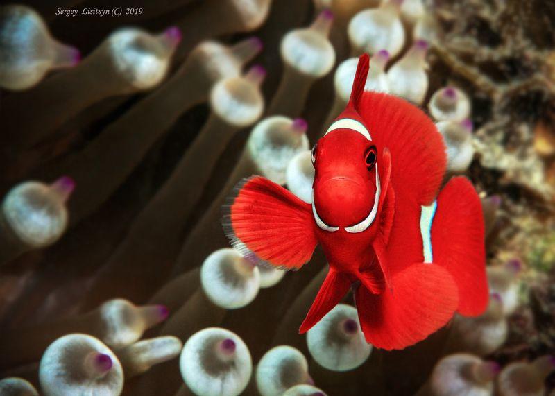 Красный премнас в актинии.photo preview