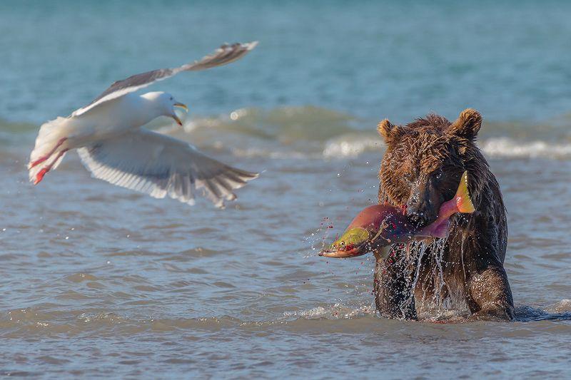 камчатка, медведь, лето, животные, природа, путешествие, фототур, лосось Жадный мишкаphoto preview