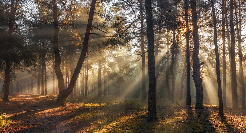 landscape, пейзаж, утро, лес, сосны, деревья, солнечный свет,  солнце, природа, солнечные лучи,  прогулка, утроphoto preview