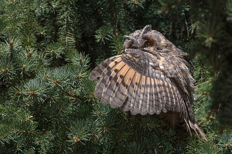 ушастая сова фокусникphoto preview