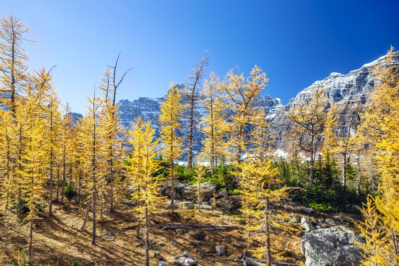 canada ,alberta ,banff ,banff national park ,larch hill ,explore canada ,canadainpictures ,mountain peaks ,mount hungabee ,autumn in canada ,larch season ,canadian rockies ,parks canada ,natural beauty ,canadian photography ,wild places ,larix ,mountain g Larch hillphoto preview