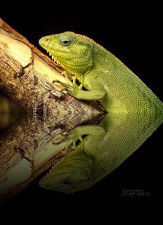 The Lizard Reflections