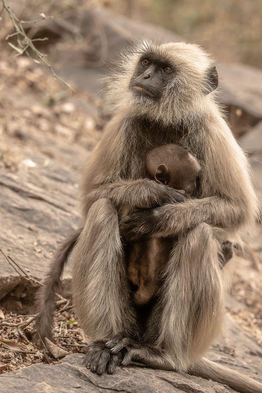 обезьяны  индия когда муж \