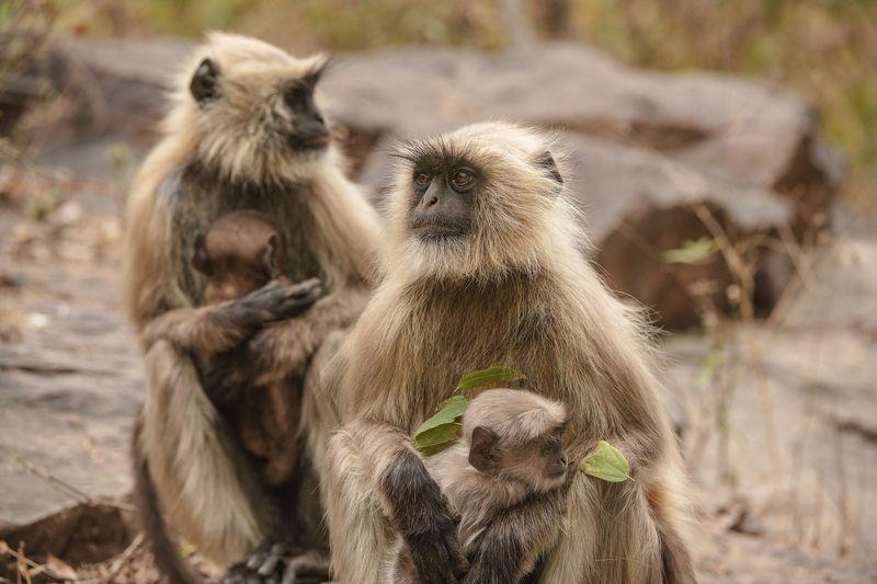 обезьяны  индия А у меня нормальный МУЖ...И РЕБЕНОК НОРМАЛЬНЫЙ...photo preview