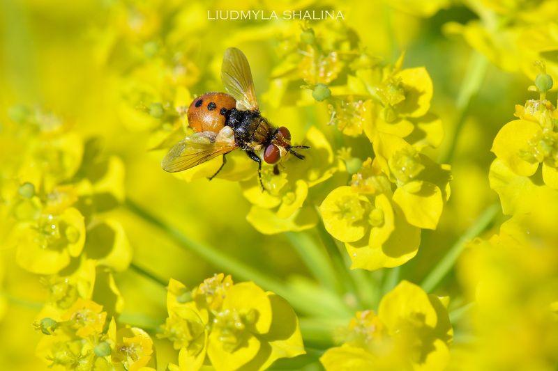 цветение , молочай , желтый , муха , весна  photo preview