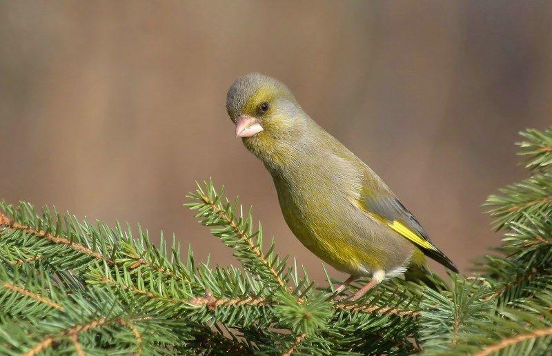 природа , птицы , лесная канарейка , весна очень интересноphoto preview