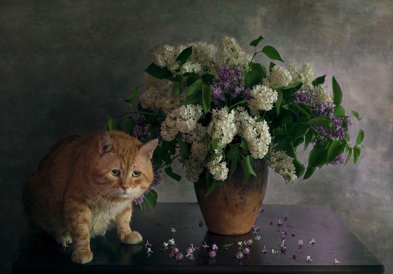 кот,сирень,натюрморт,рыжик Про Рыжика и сиреньphoto preview