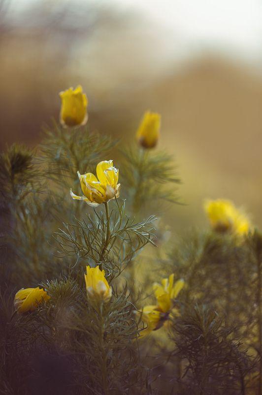 Адониса цвет...photo preview