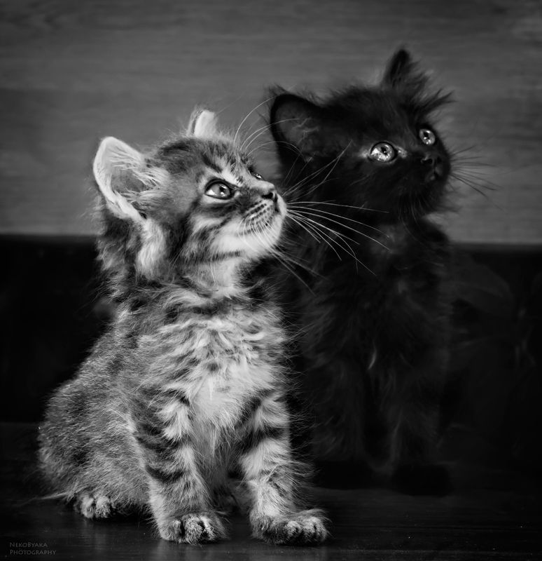 кот, кошка, котята, черно-белое, cat, kittens, blackandwhite, животные, animal ангел и демонphoto preview