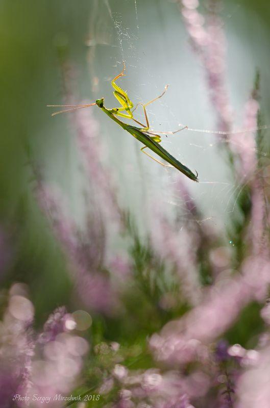 макро, богомол, лето, август, красиво, растение, насекомое, утро, верес, украина Невесомостьphoto preview