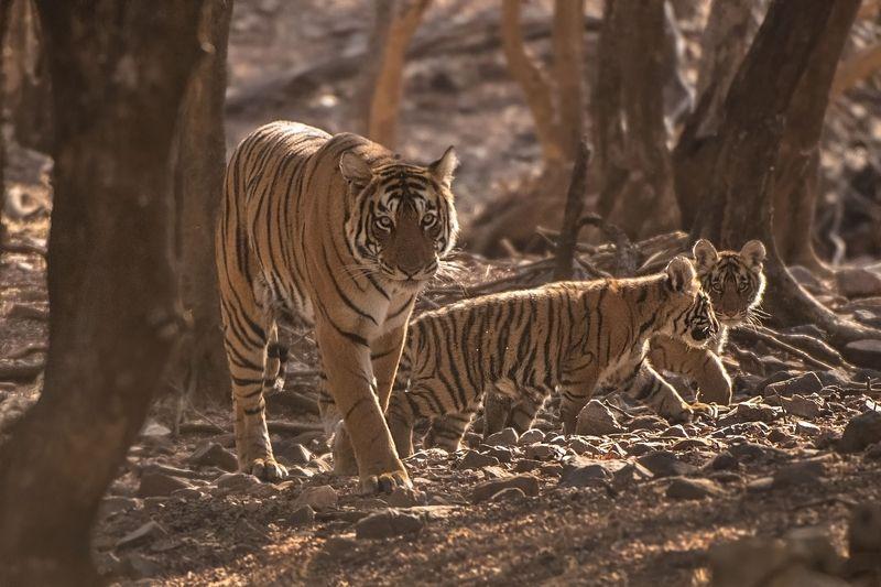 тигр   индия ИНДИЯ.\