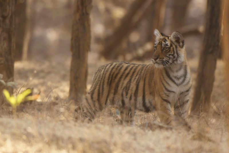 тигр КУДА МАМА СПРЯТАЛАСЬ...?!photo preview