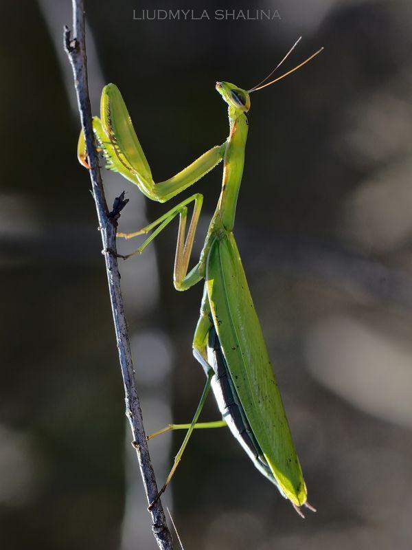 богомол , природа , красота , насекомые ,  insect , nature , beauty , mantis В романтическом настроении photo preview
