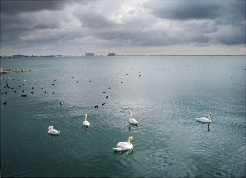 лебеди, море, евпатория Белые лебеди в Черном мореphoto preview