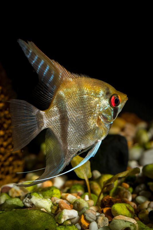 fish, aquarium, angel fish, animals, nature, home, decore Angel fishphoto preview
