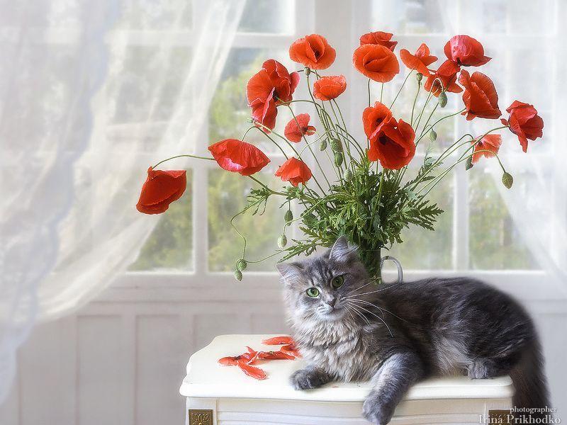 натюрморт, цветочный натюрморт, букет, красные маки, домашние животные, котонатюрморт, кошка Масяня Натюрморт с букетом красных маков и конечно же - Масяняphoto preview