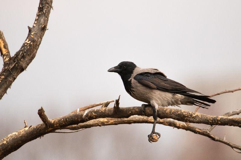 птицы, природа, орнитология, ворона Ворона и грецкий орехphoto preview