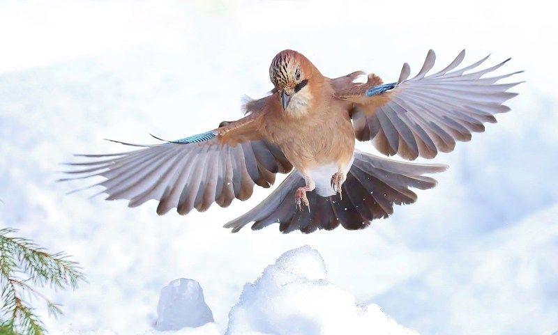 природа , птицы , сойки , зима , полёт на раздутых \