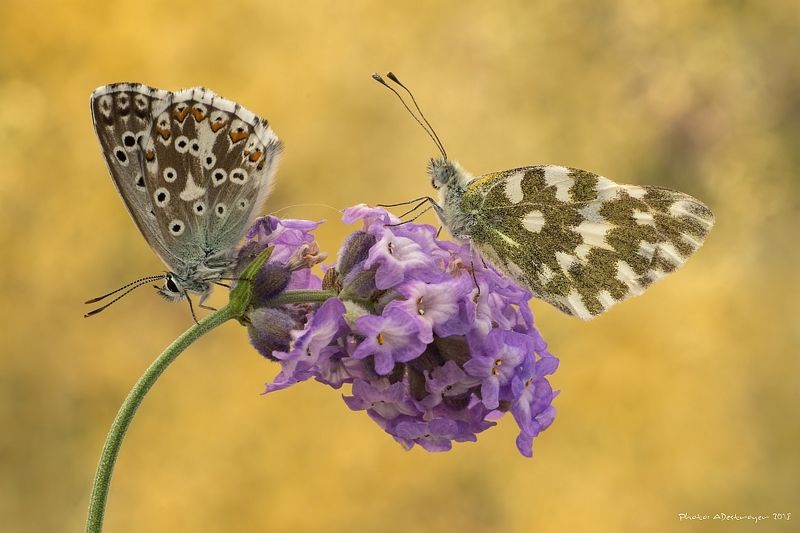 macro nature butterfly A Pair Of Kingsphoto preview