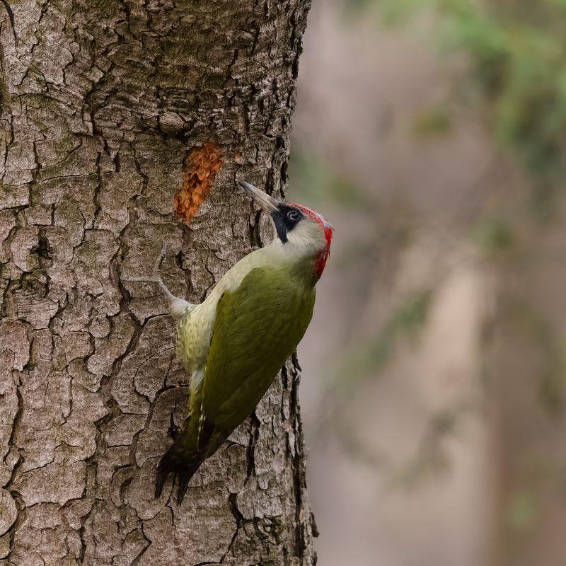 весна, зелёный, дятел, птицы В школе  ЗЕЛЁНЫХ дятлов .photo preview