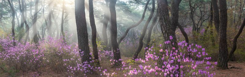 spring,light,pine,forest,blossom,panorama,nature The early april samreungphoto preview