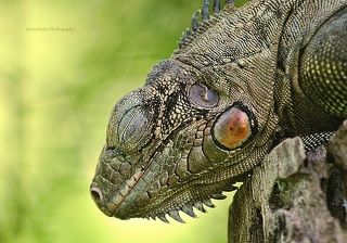 Iguana Sleeping