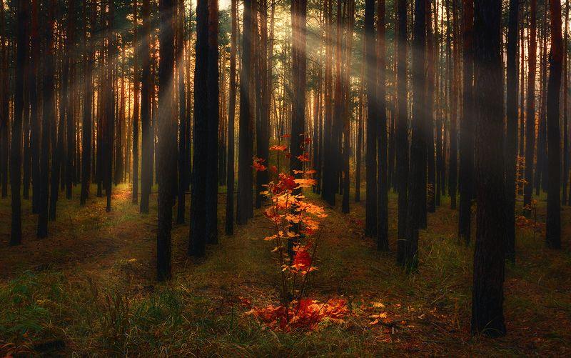 landscape, пейзаж, утро, лес, сосны, деревья, солнечный свет,  солнце, природа, солнечные лучи,  прогулка, осень, опавшие листья, осенние картинкиphoto preview