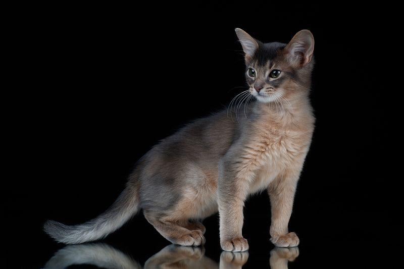 Абиссинский котенокphoto preview