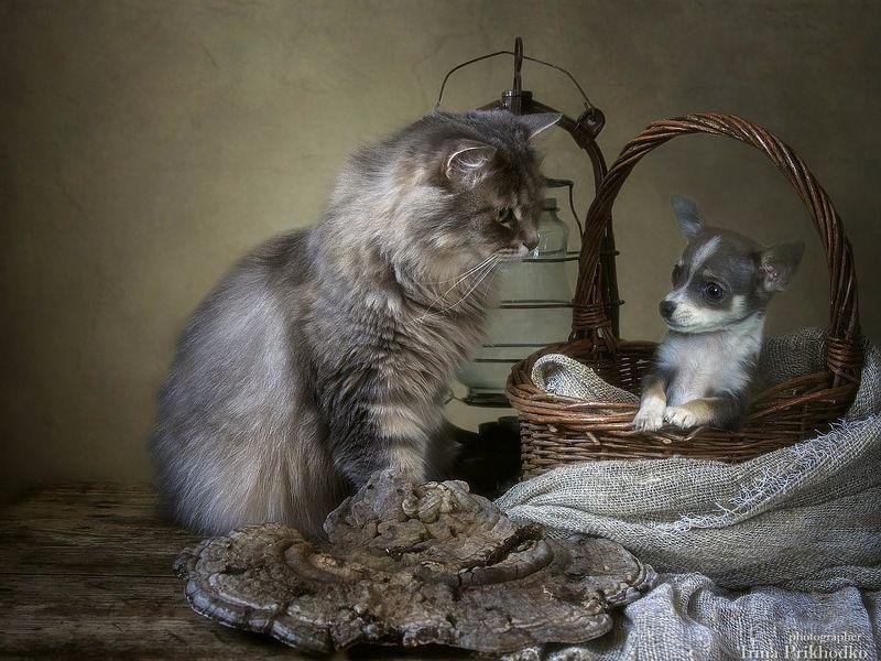 фото животных, домашние животные, щенок, кошка Масяня. чихуахуа, постановочное фото Злая воспитательницаphoto preview