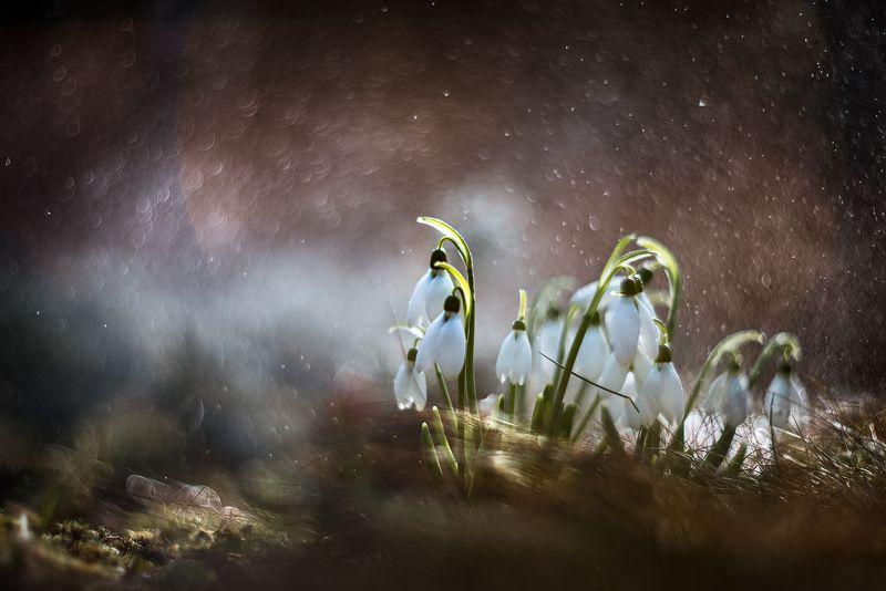 природа, макро, весна, подснежники, галантус, боке Наурызphoto preview
