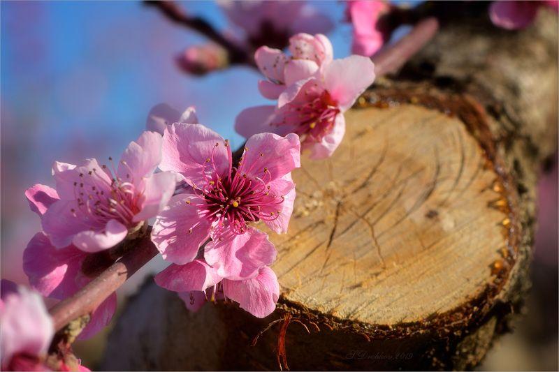 персик, цветы, сад, весна Новая жизньphoto preview
