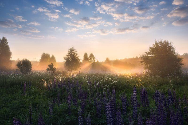 утро, рассвет, солнце, туман, люпины первые лучиphoto preview