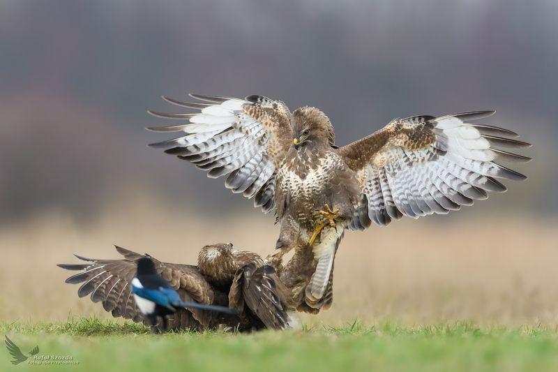 buzzard, birds, nature, animals, wildlife, colors, meadow, fight, wings, green, nikon, nikkor, lens, lubuskie, poland Myszołowy, Common Buzzard (Buteo buteo) ...photo preview