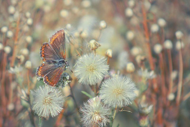 макро, насекомые, бабочка, голубянка Про бабочкуphoto preview