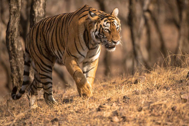 тигр   индия ТИГРА НА ОХОТЕphoto preview