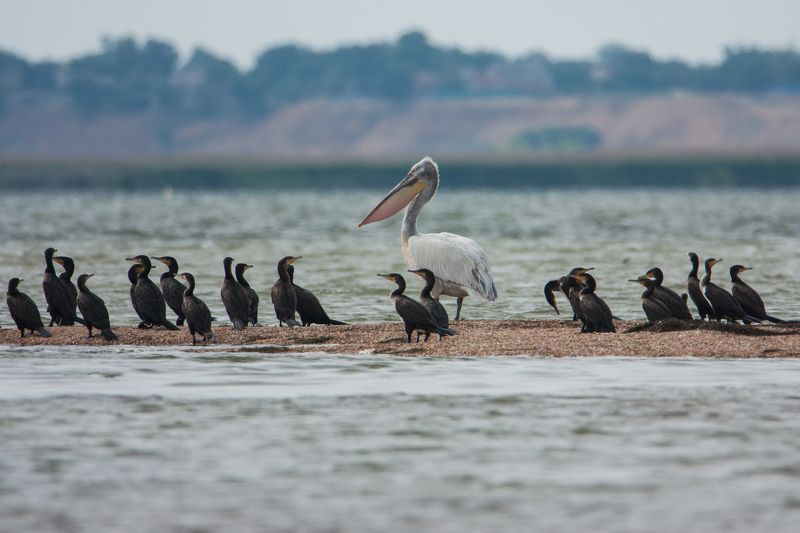 природа, животные, пеликан, фауна Свой среди чужих.photo preview