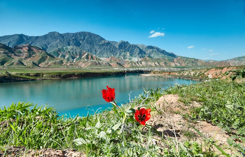 первые тюльпаны…сарбанд. река вахш. таджикистан photo preview