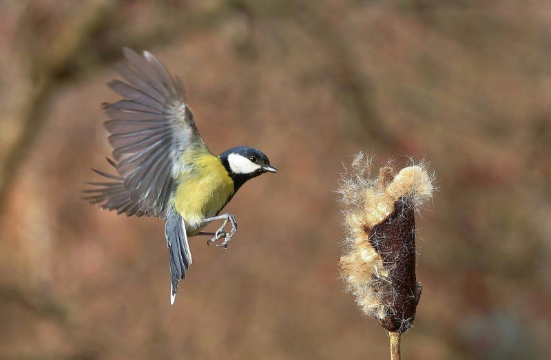 природа , птицы , синица , полёт *****photo preview