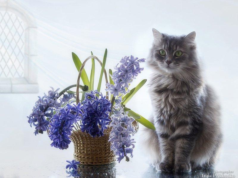 цветочный натюрморт, весна, кошка Масяня корзинка гиацинтов Масяня и гиацинтыphoto preview