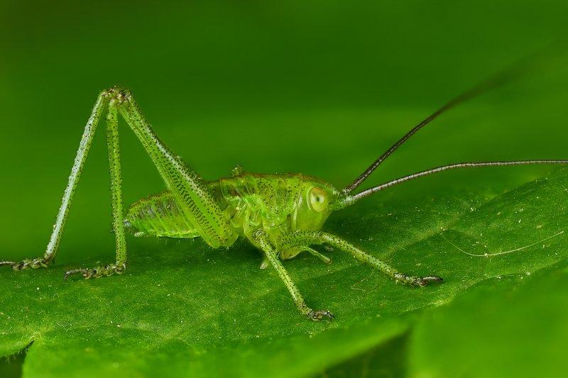 макро кузнечик насекомое животное зеленый  Кузнечикphoto preview