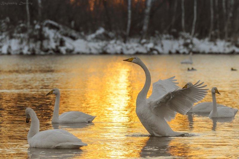 Лебеди озера Светлое.photo preview