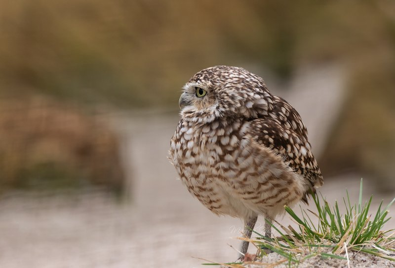 burrowing owl, owl, birds, nature, animals, birds of prey Burrowing Owlphoto preview