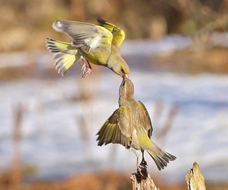 природа ,птицы , лесные канарейки , встреча , весна , полёт веснаphoto preview