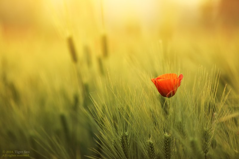 poppy barley red green light sun farm spring flower red in barleyphoto preview