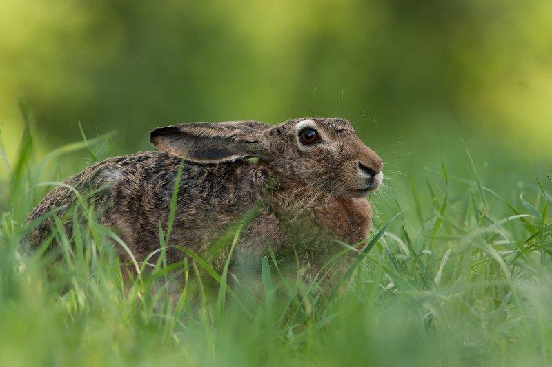 заяц, природа, животные Портрет русакаphoto preview